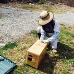 イチゴの交配用ミツバチの出荷(*^_^*)