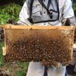 秋の蜂蜜収穫間近です^ – ^