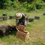 交配用ミツバチの出荷(^^)